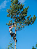 Arborist Trimming Down a Tree — 图库照片