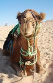 смешные верблюд — Стоковое фото