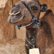 Funny camel — Stock Photo