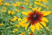 Macro black eyed susan daisy flower — Stock Photo