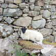 Sheep resting at a wall — Stock Photo