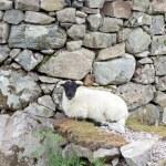 Sheep resting at a wall — Stock Photo