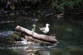 Gull on log at Kelvinbridge — Stock Photo