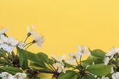 вишня цвітіння — Foto Stock