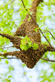 Bee swarm — Stock Photo