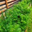 Vegetable garden — Stock Photo #21655249