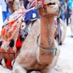 Camel of Petra — Stock Photo #25472249