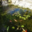 Feeding koi — Stock Video