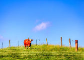 Cow on a farm — Stock Photo