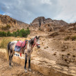 Petra horse — Stock Photo
