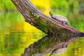 Common map turtle — Stock Photo