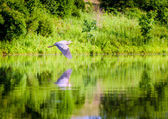Great Blue Heron in flight — Stok fotoğraf