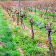 Vineyard in fall — Stock Photo