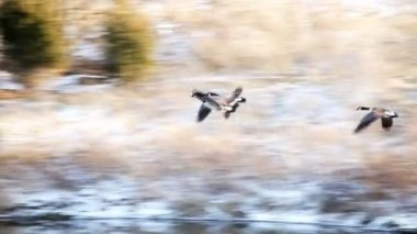 Canadian geese — Stok video