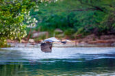 Blue Heron in flight — Photo