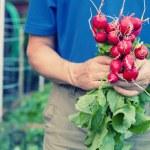 Gardener holding radishes — Stock Photo
