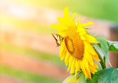 Sunflower and butterfly — Stock Photo