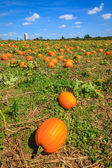Pumpkin patch — Stockfoto