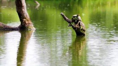 Ortak harita kaplumbağa — Stok video