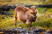 Brown sheep — Stock Photo