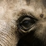 An elephant head close up — Stock Photo #2310349