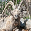 Capra ibex - Stock Photo