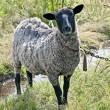 Suffolk sheep — Stock Photo #19435101