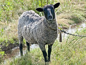 Suffolk sheep — Foto Stock