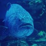 Goliath grouper — Stock Photo #15356071