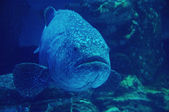 Goliath grouper — Stock Photo