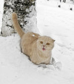 Scottish fold katt — Stockfoto