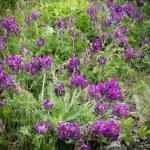 Viola odorata - Sweet Violet, — Stock Photo