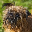 Bryuselsky Griffon — Stock Photo