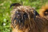 Bryuselsky Griffon — Stock Photo