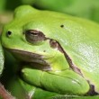 European tree frog - Hyla arborea — Stock Video