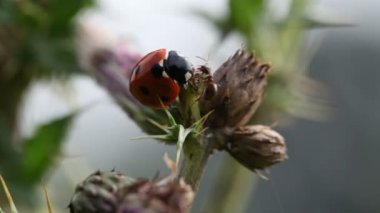 Ladybugs against ants — Stock Video