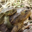 Common Toad - copulation — Stock Video