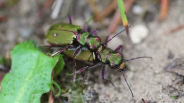 Field Tiger Beetle - pair — Stock Video