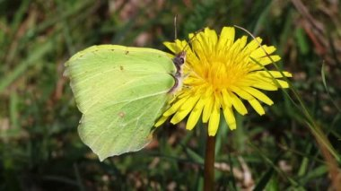 Brimstone - Gonepteryx rhamni — Stock Video
