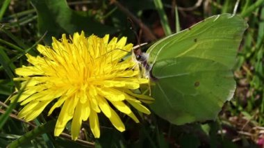 Brimstone - dandelion - ants — Stock Video