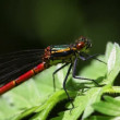 Large red damselfly — Stock Video
