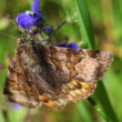 Burnet companion moth — Stock Video