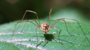 Harvestman - macro — Stockvideo