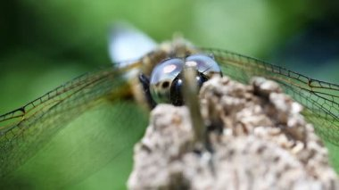 Broad-bodied Chaser - hiding — Stock Video