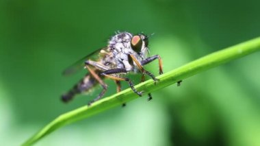 Robber fly - Asilidae — Stock Video