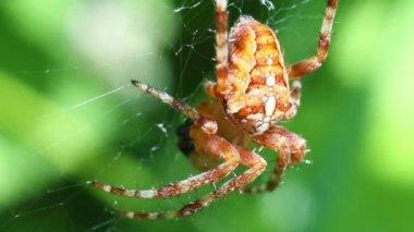 Avrupa Bahçe örümcek - makro — Stok video