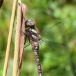 Autumn Hawker - Aeshna mixta — Stock Video