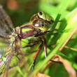Southern Hawker - eye care — Stock Video