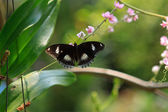 Black exotic butterfly on the plunt — Stock Photo