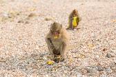 Monkey eats raw mango — Stock Photo